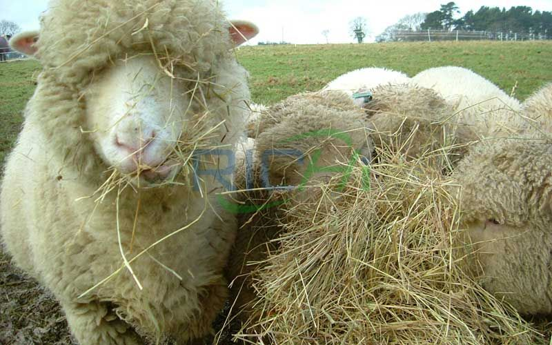 Utilization Characteristics of Meat Sheep in Winter