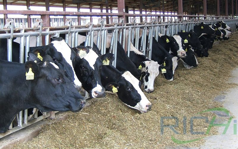 Cattle eating feed