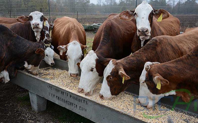 grain is fed to cattle