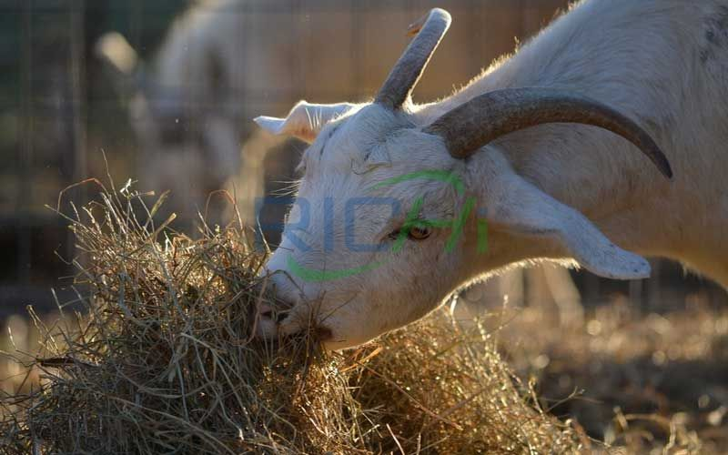sheep eat straw