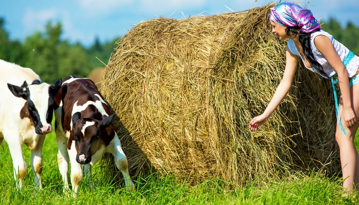 Cow and hay